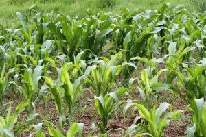 کاربرد سولفات روی در کشاورزی