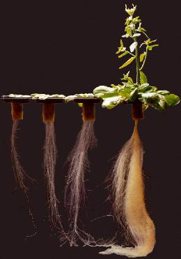 کاربرد هیومیک اسید در تقویت ریشه ها